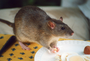rat-infestation-pest-control, rodent infestations