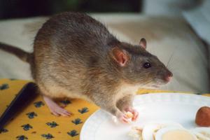 rat infestation pest control