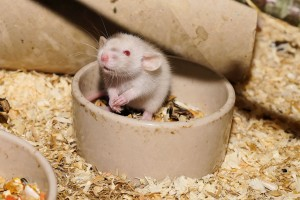 Rat diet - pest control tips, Prevent Rat/Mouse Infestations