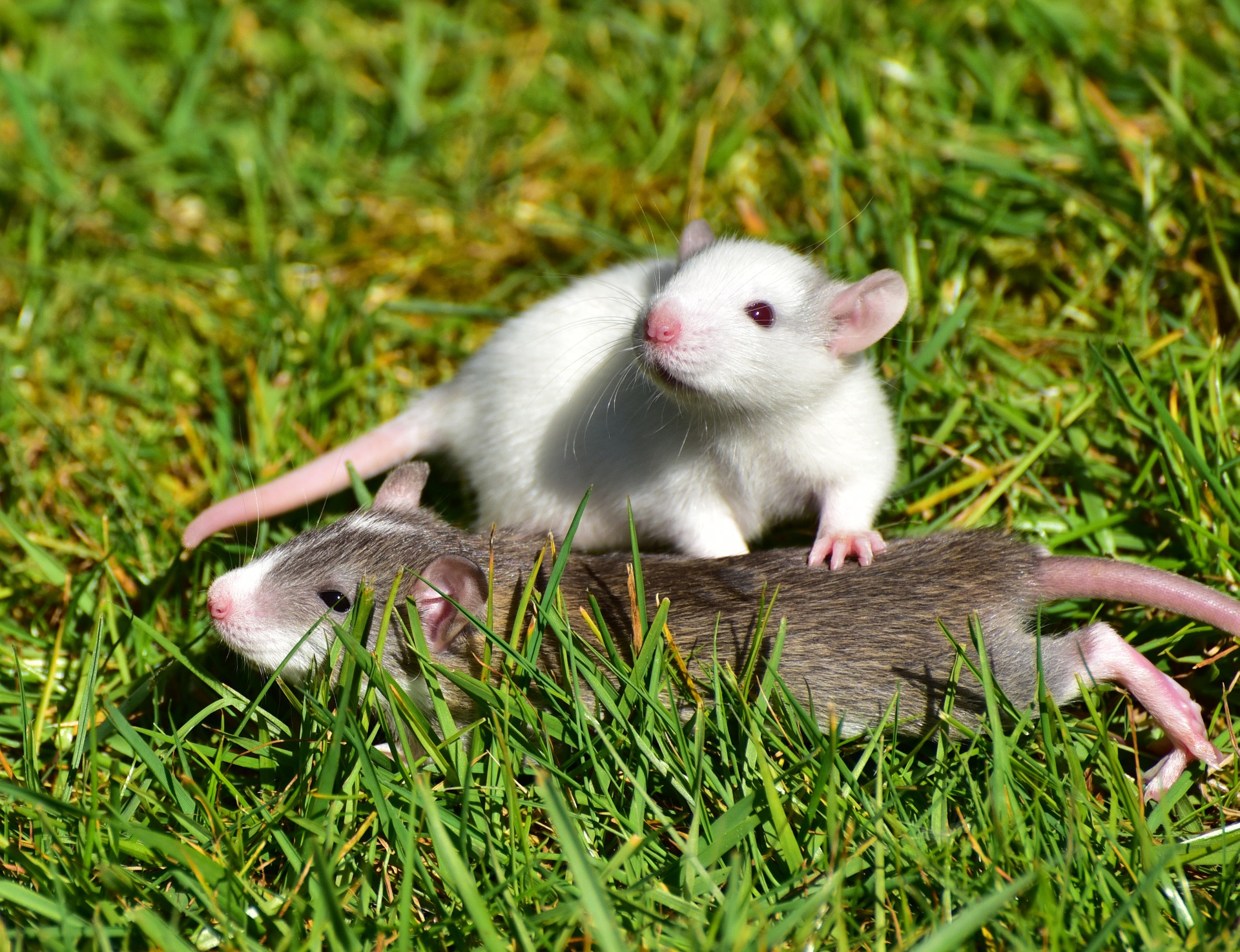 How to Identify & Prevent Rat/Mouse Infestations | 24|7 Home Rescue